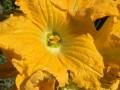 focaccia-con-fiori-di-zucca01